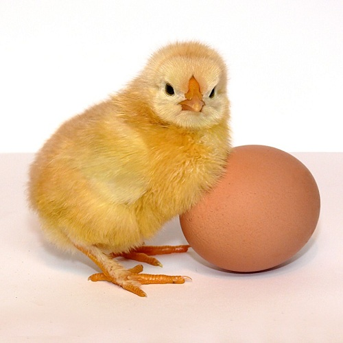 Что появилось первым Курица или Яйцо? – ответ найден!