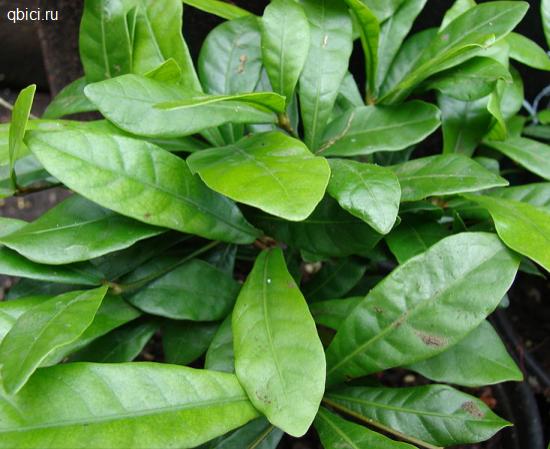 Synsepalum dulcificum листья