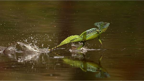 Шлемоносный василиск может ходить во воде