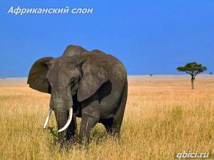 Африканский слон крупное животное