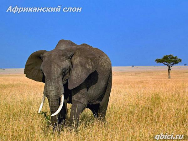 Самое крупное животное, обитающее на суше