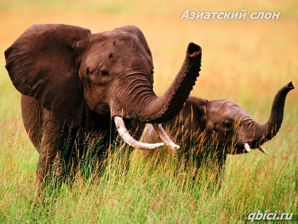 Азиатский слон крупное животное