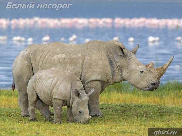 Белый носорог крупное животное суши