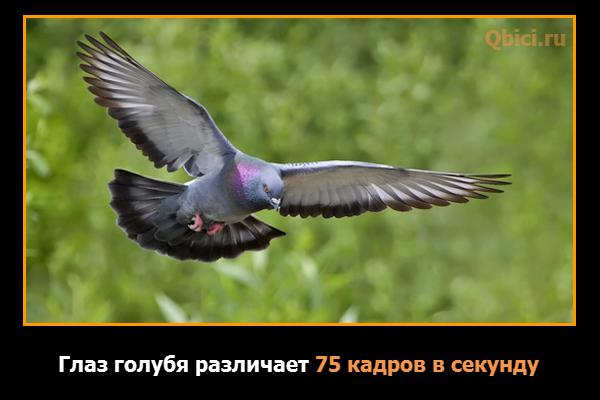 Зрение голубя в 3 раза быстрее человеческого