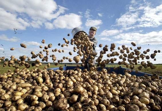 факты о картофеле