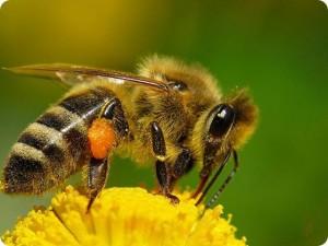 Неизвестные факты о пчелах