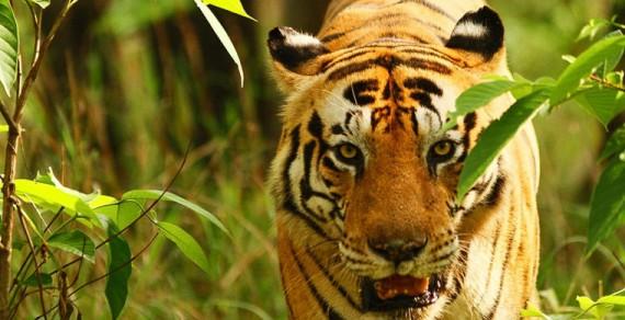 Тигр стал звездой среди туристов из-за «надписи» на лбу