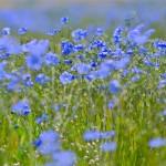 Лен цветет в воспоминаниях
