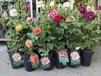 В тренде – розы, а также поздние сорта яблунь и персики