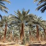 Расшифрован геном возрожденных «библейских» финиковых пальм